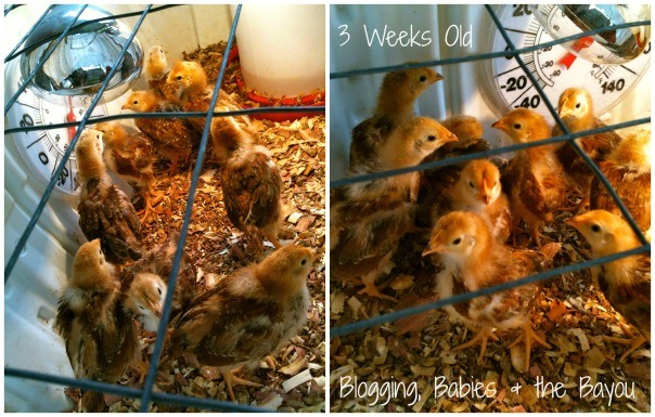 Final 3 Weeks old 2 pic collage